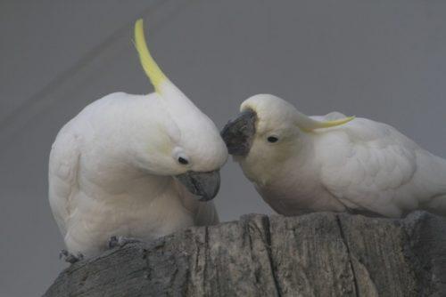 2羽のオウム