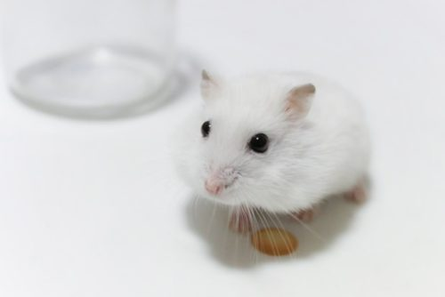 白いハムスター