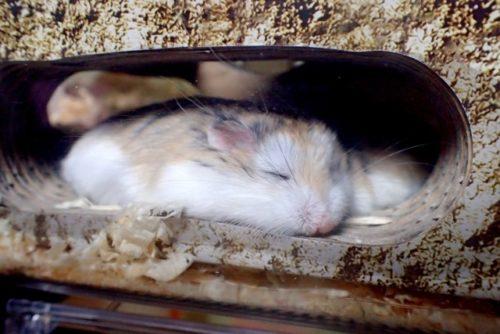 寝ているロボロフスキー
