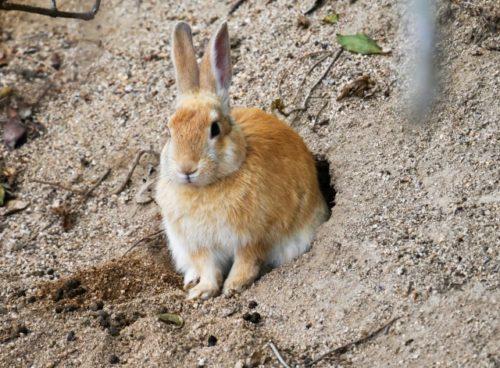 巣穴から出るウサギ
