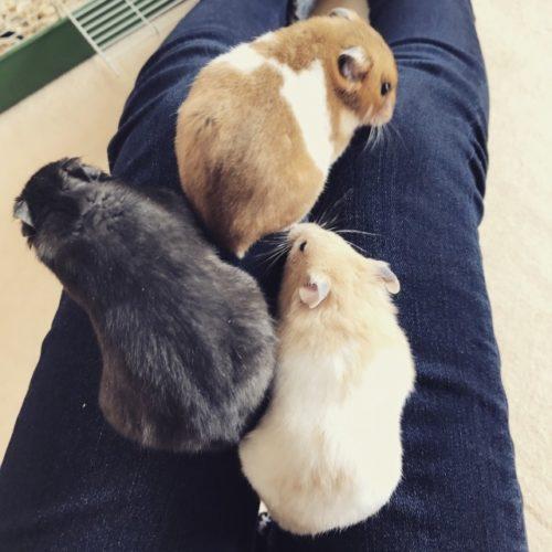 三匹のハムスター