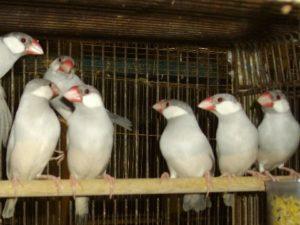 シルバー文鳥