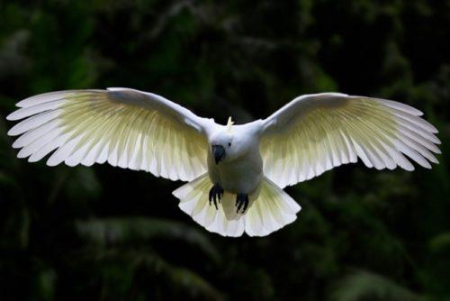 キバタン 飛ぶ