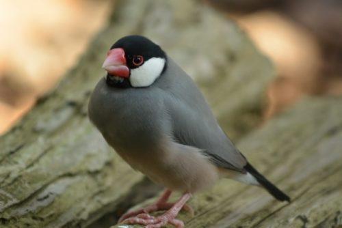 野生の文鳥