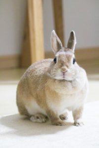 こちらを見るメスのウサギ