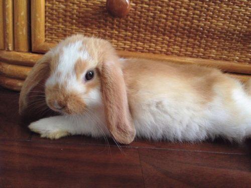 くつろぐウサギ