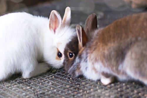 二匹のウサギ