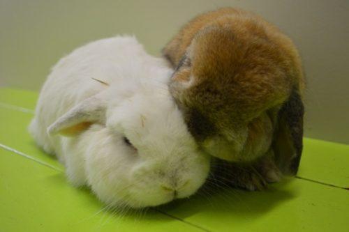 子ウサギ ロップ