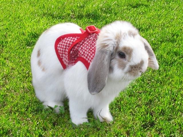 ハーネスを付けたウサギ