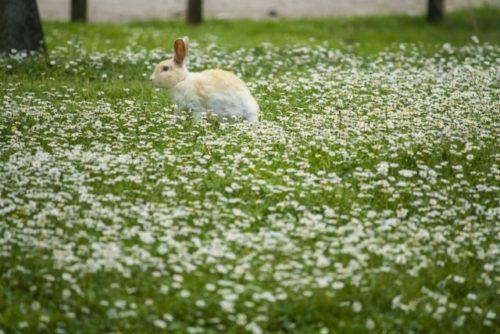 野のウサギ