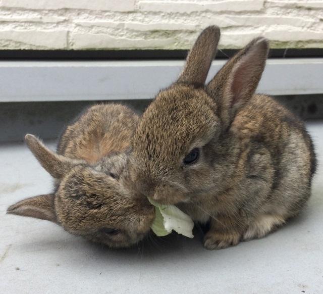 たわむれる子ウサギ