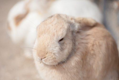 目をつむるウサギ