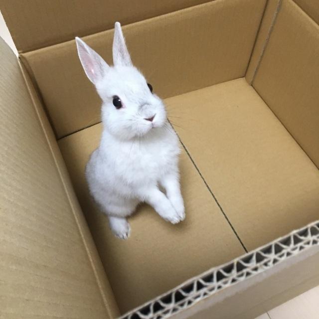 段ボールの中のウサギ