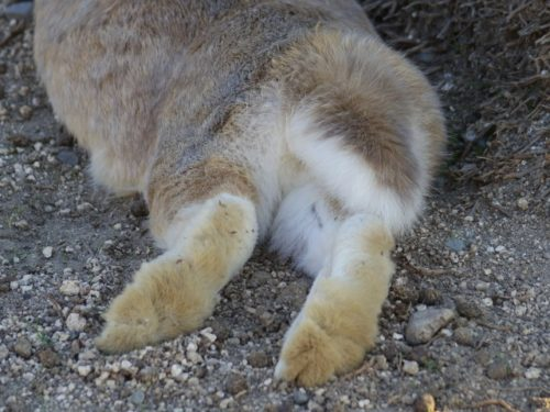ウサギの後ろ足