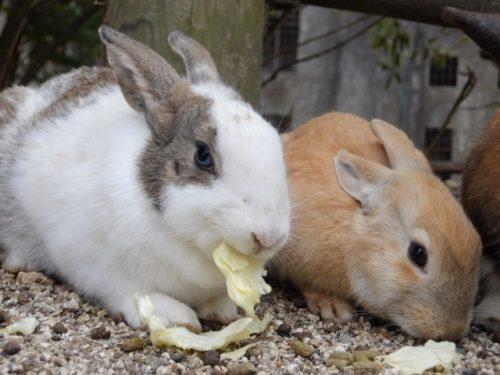 餌を食べるミニウサギ