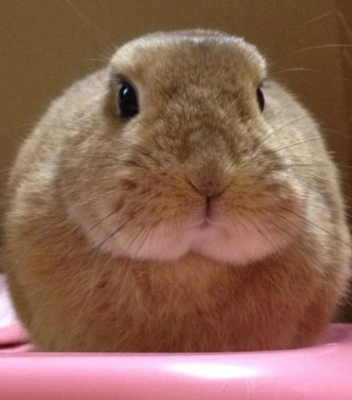 ドアップウサギ顔