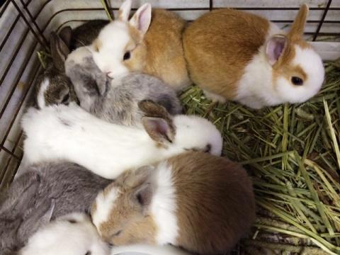 ミニウサギ