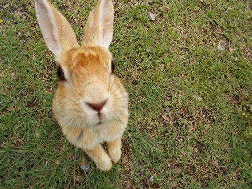 こちらを見つめるウサギ