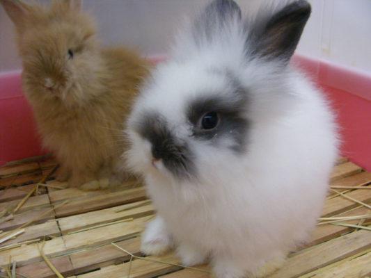 ふわふわウサギ