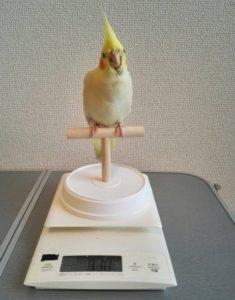 オカメインコ体重測定