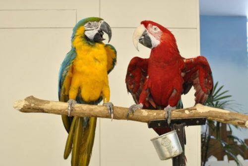 2羽のコンゴウインコ