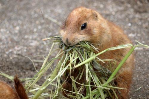 草を食べるプレーリードッグ