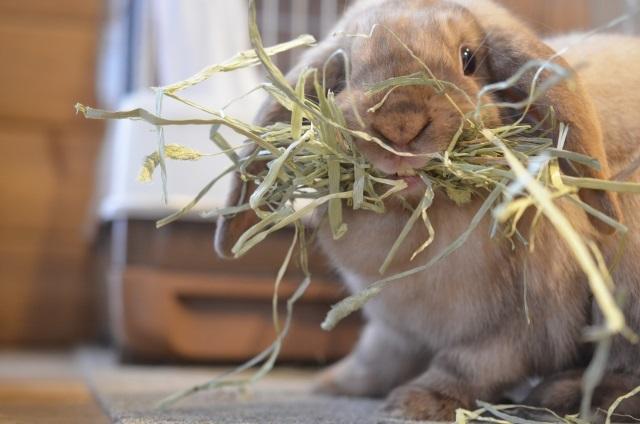 草を食べるウサギ