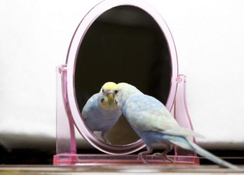 鏡を見るセキセイインコ