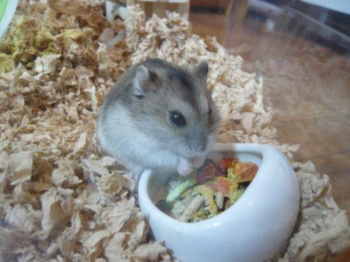 陶器の器で餌を食べるハムスター