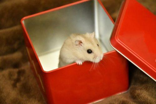 箱から出るハムスター