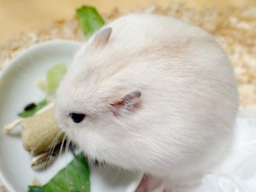餌を食べるハムスター