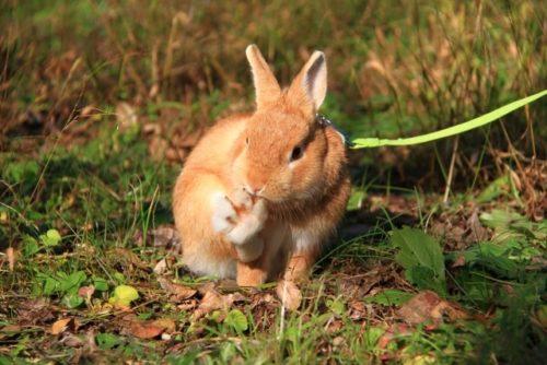 お散歩ウサギ