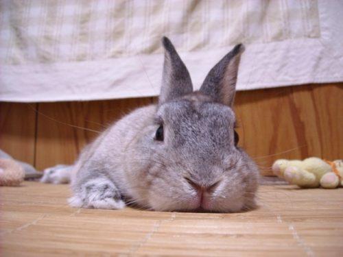 ぽってりウサギ