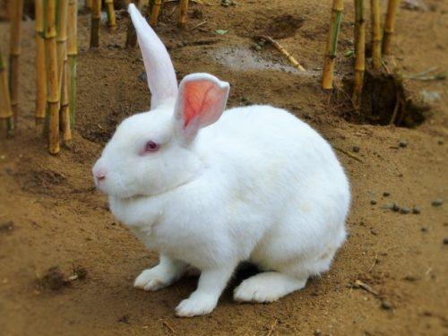 大きな白ウサギ