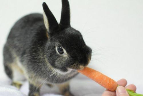 おやつを食べるウサギ