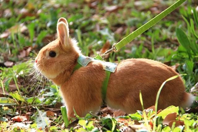 散歩中のウサギ