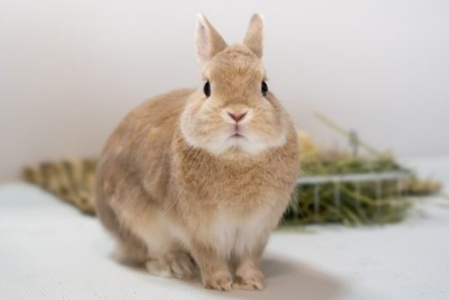 おすましウサギ