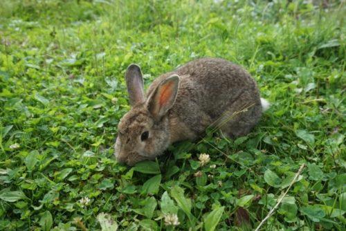野外のウサギ