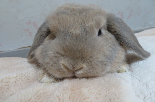とろけるウサギ