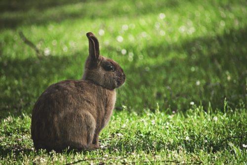 たたずむウサギ
