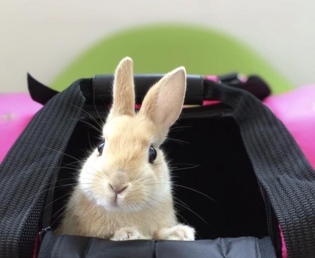キャリーの中のウサギ