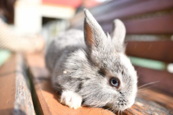 伏せをするウサギ