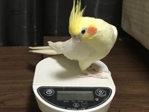 体重を量るインコ