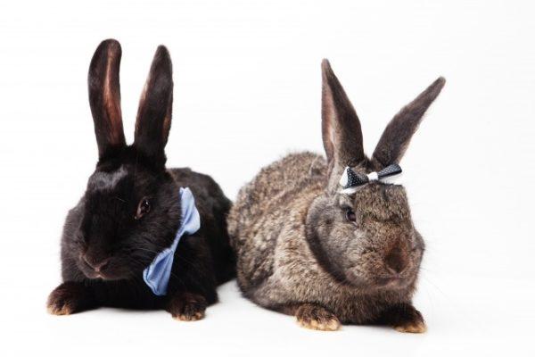 大型ウサギ
