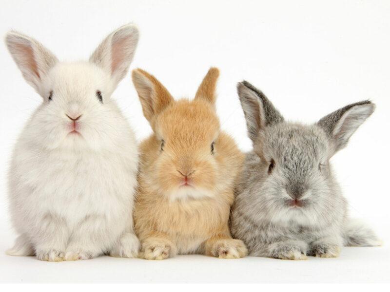 3匹の子ウサギ