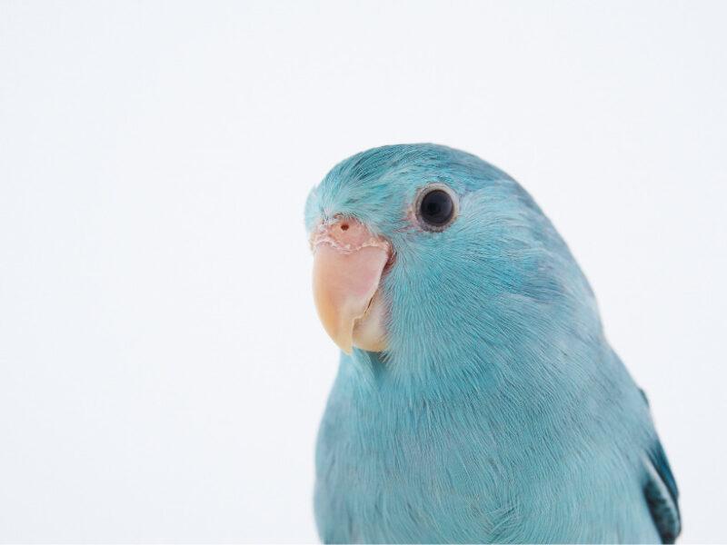 青いマメルリハ