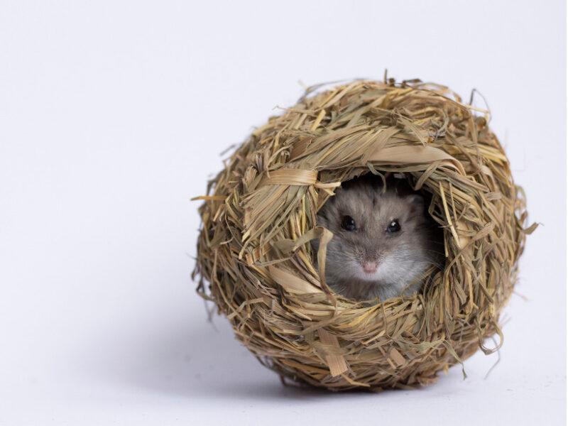 巣に隠れるキャンベルハムスター
