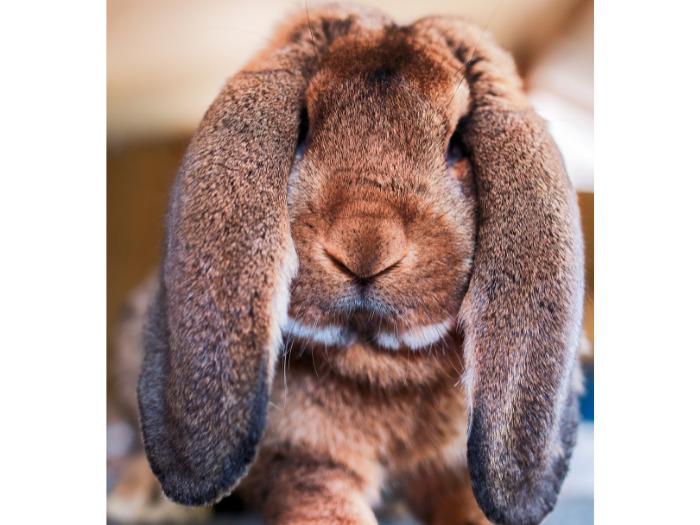 大きな耳のイングリッシュロップ